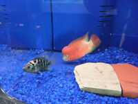Wild Selection of Flowerhorn  Discus Pleco Cichlid Angel Fish Aq