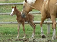 qtr horse filly, just born. ready in spring start bonding now