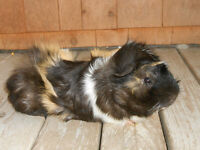 Guinea pig to give away