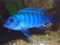 Malawi adult blue zebra cichlid fish
