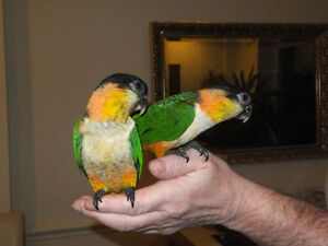 ❤♥☆♥ CAIQUE ♥ Babies with Cage and Food ♥☆♥❤ London Ontario image 2