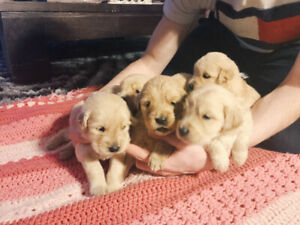 Purebred Golden Retriever Puppies For Sale (CLOSED)