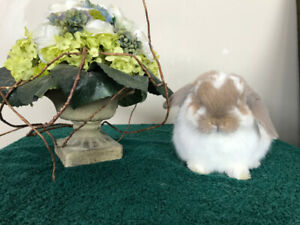 Sweet Purebred (Pedigreed) Holland Lop