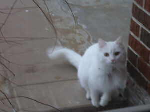 STILL MISSING-Missing white cat West Island Greater Montréal image 3