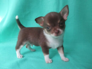 ***Cute Chocolate Chihuahua Puppies ***1 Male Left***