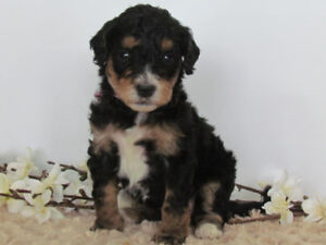 Mini Bernedoodle Puppies Availible!-  Ready for Valentines