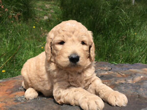 Hazy Hajers Kennel - Goldendoodle Puppies