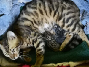 VALENTYNE'S BENGAL KITTENS READY TO GO TO NEW FOREVER HOMES NOW
