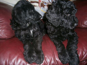 POODLE/POINTER F2b