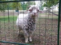 Male (intact) Angora Goat
