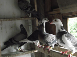 Homing Pigeon | Kijiji in Ontario  - Buy, Sell & Save with
