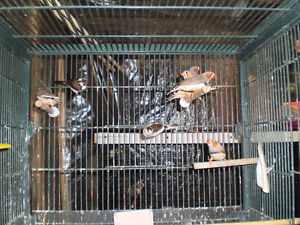 Finches for Sale Sarnia Sarnia Area image 1