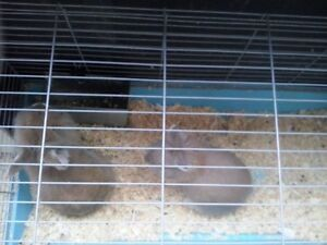 Lion Head Rabbits for SALE!! London Ontario image 1