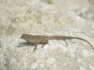 BROWN ANOLE for sale