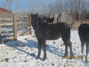 For Sale Black Friesian Colts