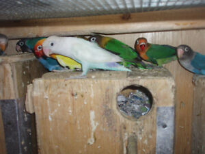 LOVEBIRDS FOR SALE FISCHERS AND BLACK MASK Sarnia Sarnia Area image 3