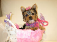 Yorkie Puppies Tiny baby doll Faces 3 females 1 male under 2lbs