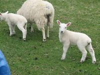 Pure Breed North Country Yew Lambs and Ramb Lambs