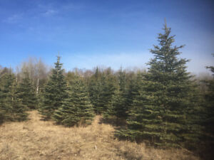 6-12' Black Spruce and Colorado Blue spruce for sale