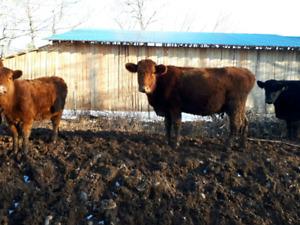 Red Angus x charolais cow