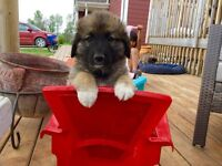 Leonberger / Maremma Pups!  Puppies Avaiable! M's and Fe's