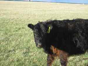 Bred Cows- Galloway