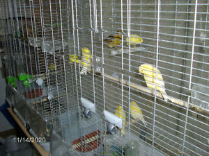 yellow american singer canaries for sale...... very good health