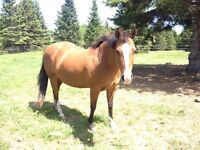 Quarter Horse Pony Cross