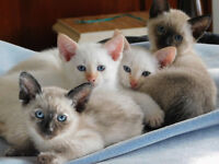 Siamese Kitten Looking for Forever Home