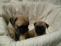 PUG Puppies Cute and Playful