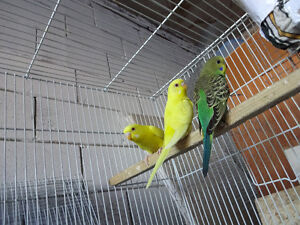 2 Beautiful Lutino Budgies with red eyes..weaned cucumber apple
