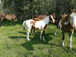 Flashy Apha weanling colt