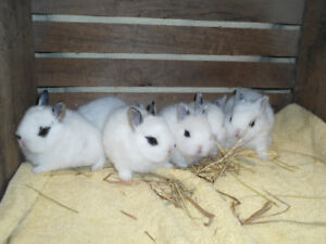 SWEET BABY BUNNY RABBITS FOR SALE !!  AVAILABLE AS OF JULY 20