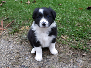 Registered Border Collie Puppy - Ready to Go!