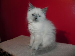 Beautiful Female Silver Point Himalayan