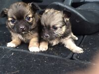 Full bread miniature Long haired chihuahuas puppies
