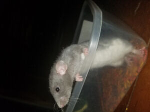 2 female rats need loving home
