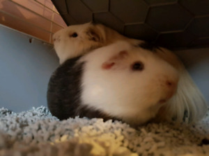 Two -  one year old Guinea pigs