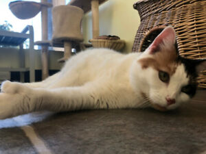 Cuddly, Affectionate Lap-Cat Seeking New Home!