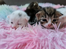 BEAUTIFUL KITTENS TABBY AND WHITE.