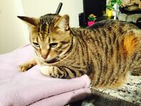 BUSTER 8yr old TABBY