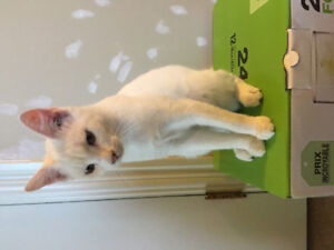 Pure white kitten for loving home