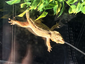 Looking for adult male crested gecko