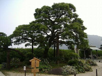 Japanese Black Pine, Pinus thunbergiana, Tree Seeds ...