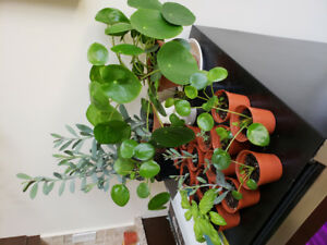 Young Pilea, aloe vera and succulent plants for sale