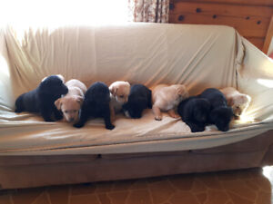 Beautiful lab puppies all sold!