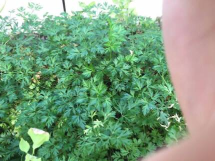 Parsley *Healthy & Strong* Waterford South Perth Area Preview