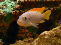 ORANGE RED TOP ICE BLUE CICHLID