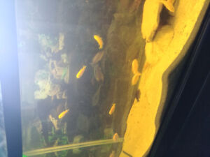 Yellow lab african cichlid