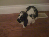 beautiful lop bunny, cage ,waterbottle food dish,and litterbox
